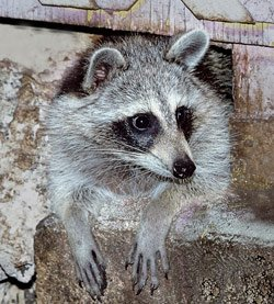 Treasure-Coast Raccoon Removal